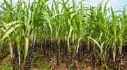 Nach Aus für Zuckerquote: Preisverfall trübt Bilanz bei